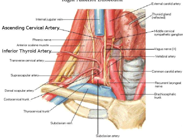 Science Natural Phenomena Medicine Ascending Cervical Artery