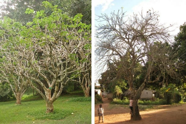 Jatropha curcas árbol crece entre tres y cinco metros de altura, pero puede alcanzar una altura de hasta ocho o diez metros