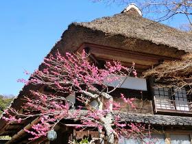 海蔵寺の梅