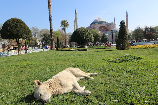 Healthy street dog (who is well-taken care by the government and local NGO) enjoys the nap in front of Hagia Sophia in Sultanahmet, Istanbul, Turkey