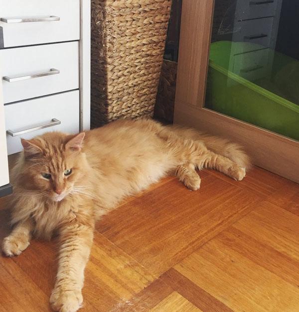 maine coon, cat floor, ginger cat