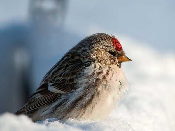 Veja 14 belos pássaros canadenses capturados por câmeras