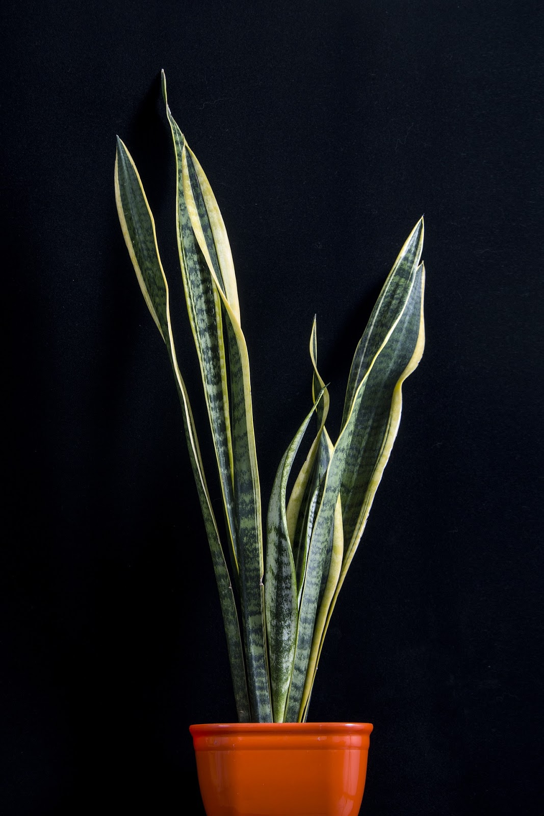 Picture of Snake Plant