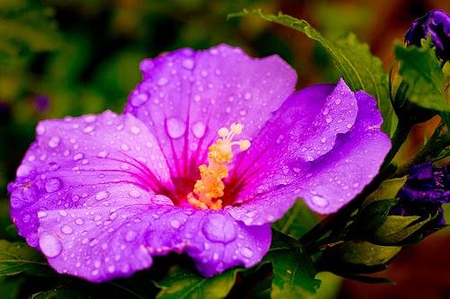 The Big Sea Purple Hibiscus By Chimamanda Ngozi Adichie