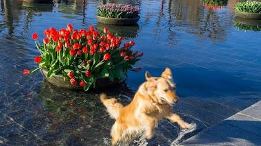 Tulp Festival Amsterdam 2017: medio millón de tulipanes en la ciudad