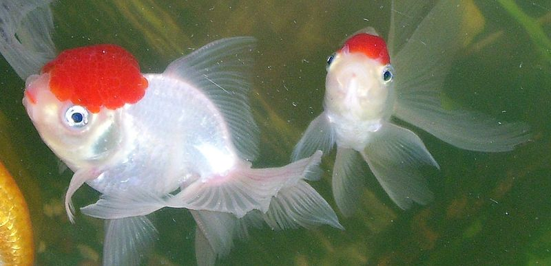 Goldfish Care Types Pictures Diseases And Treatment