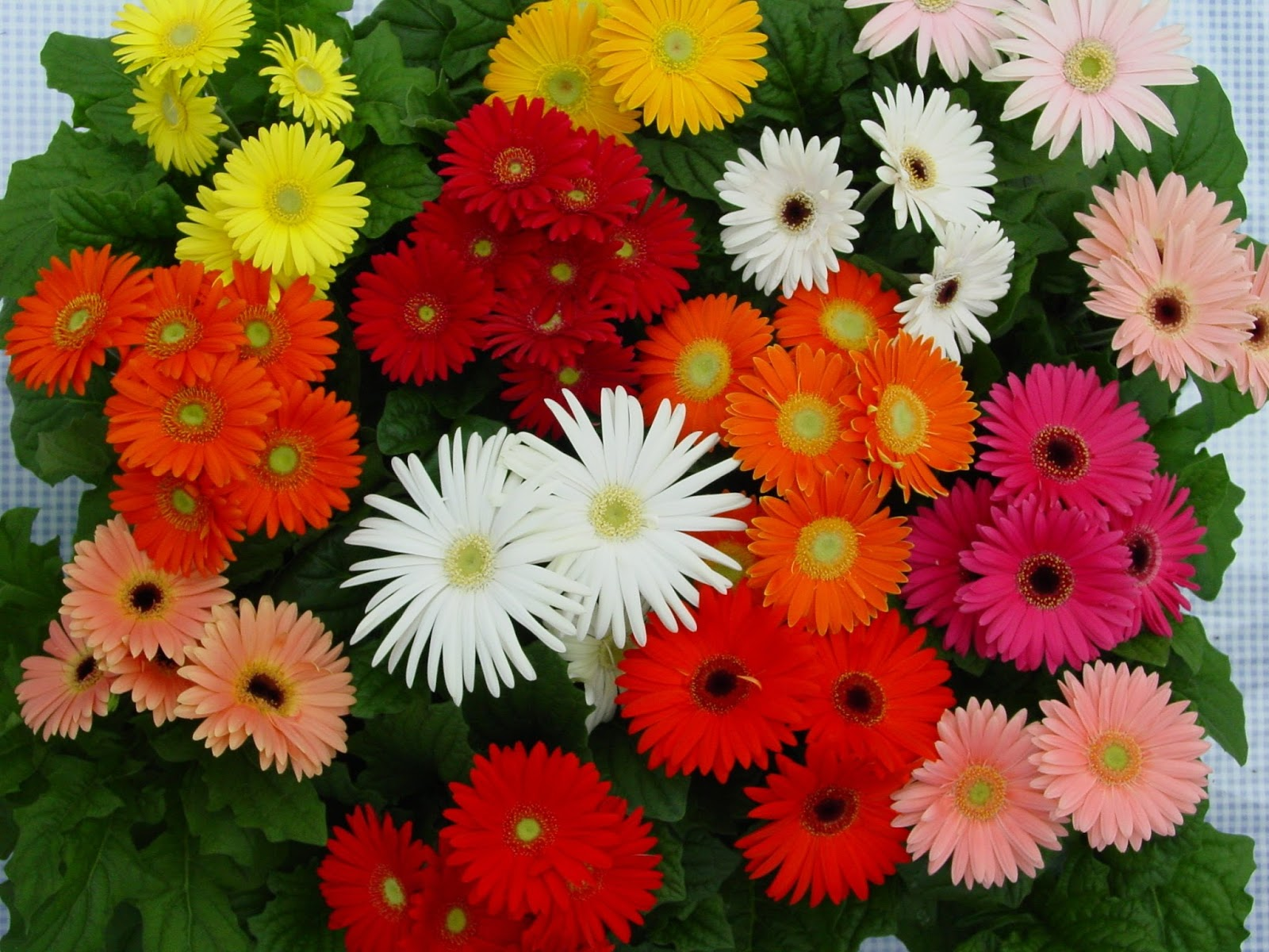Romantic Flowers Gerbera Daisy Flower
