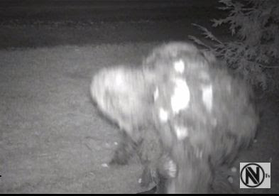 Sasquatch Trail camera