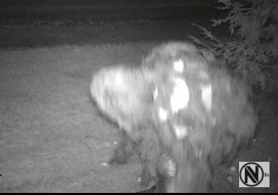 Sasquatch Trail camera
