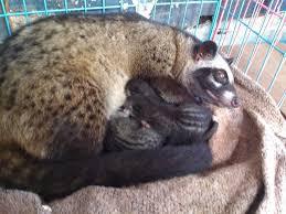 Civet Life Cara Mengawinkan Musang Biul