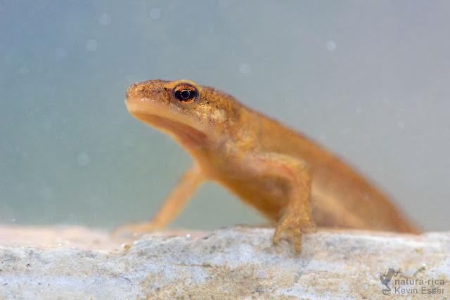 Palmate newt - Lissotriton helveticus