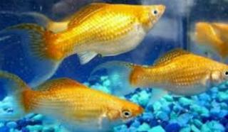 Jenis Ikan Hias Yang sangat Terkenal pada ketika ini yaitu ikan Molly Kabar Terbaru- IKAN MOLLY