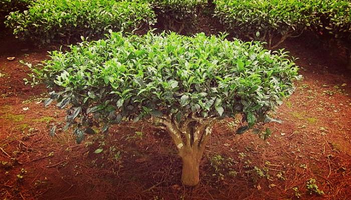La Planta de té