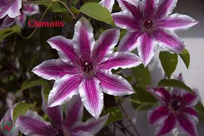 clematis flower, clematis