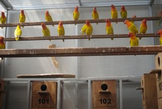 Kandang ternak merupakan salah satu faktor untuk mewujudkan dalam hal budidaya khusunya bu Kabar Terbaru- KANDANG TERNAK LOVEBIRD
