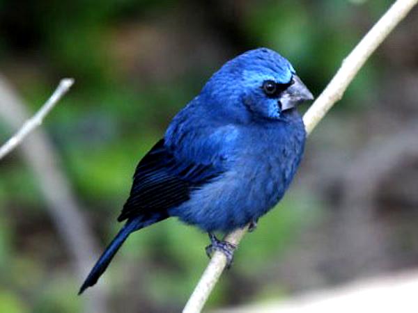 Bellas Aves de El Salvador Cyanocompsa parellina azulejo