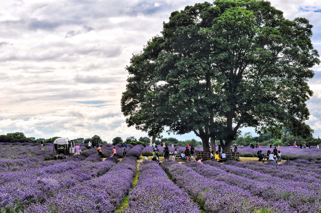 Lavender Field England