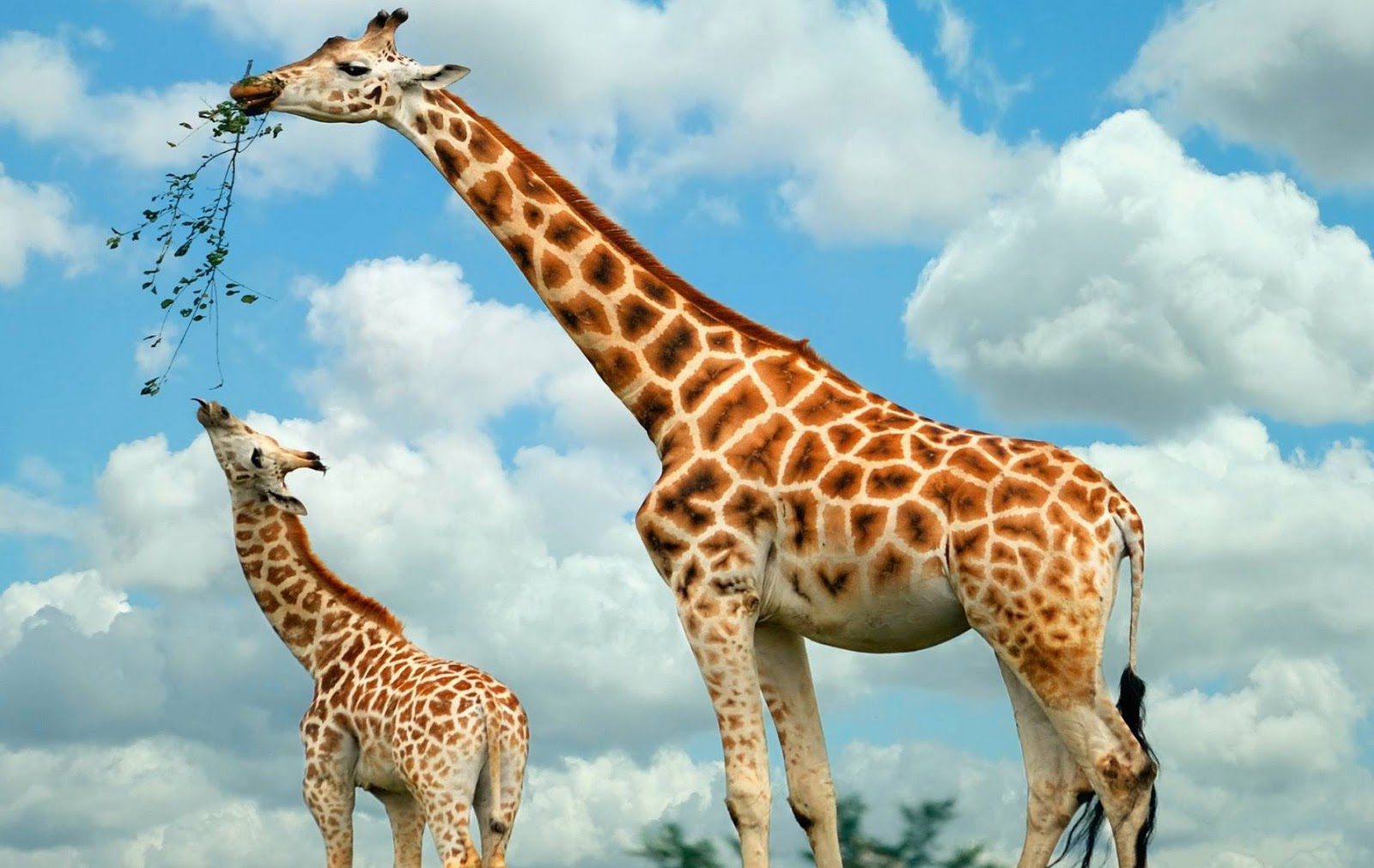 giraffe wallpapers hd pictures - photo #3