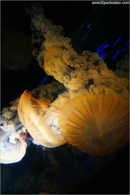 Medusa Chrysaora Plocamia en el Acuario de Boston