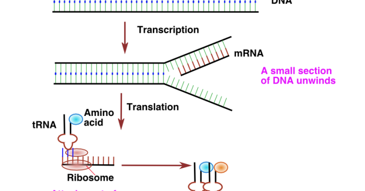 How to DNA to Protein Translation Process