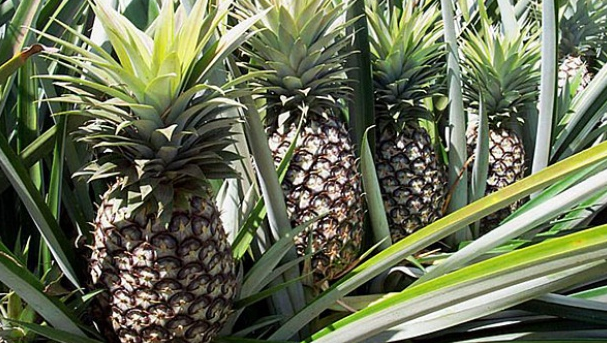 Pineapple Health Benefits to Humans