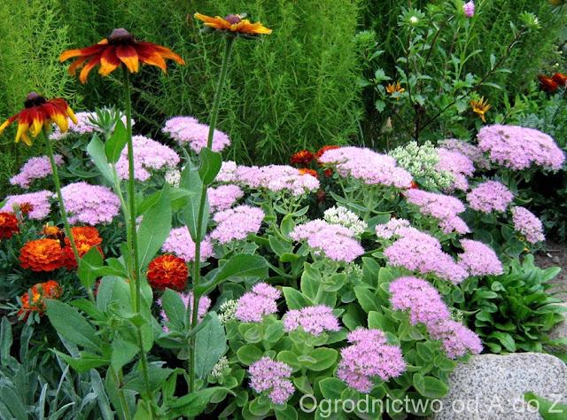 Jesień, Ogród, Rozchodnik okazały, Rudbekia