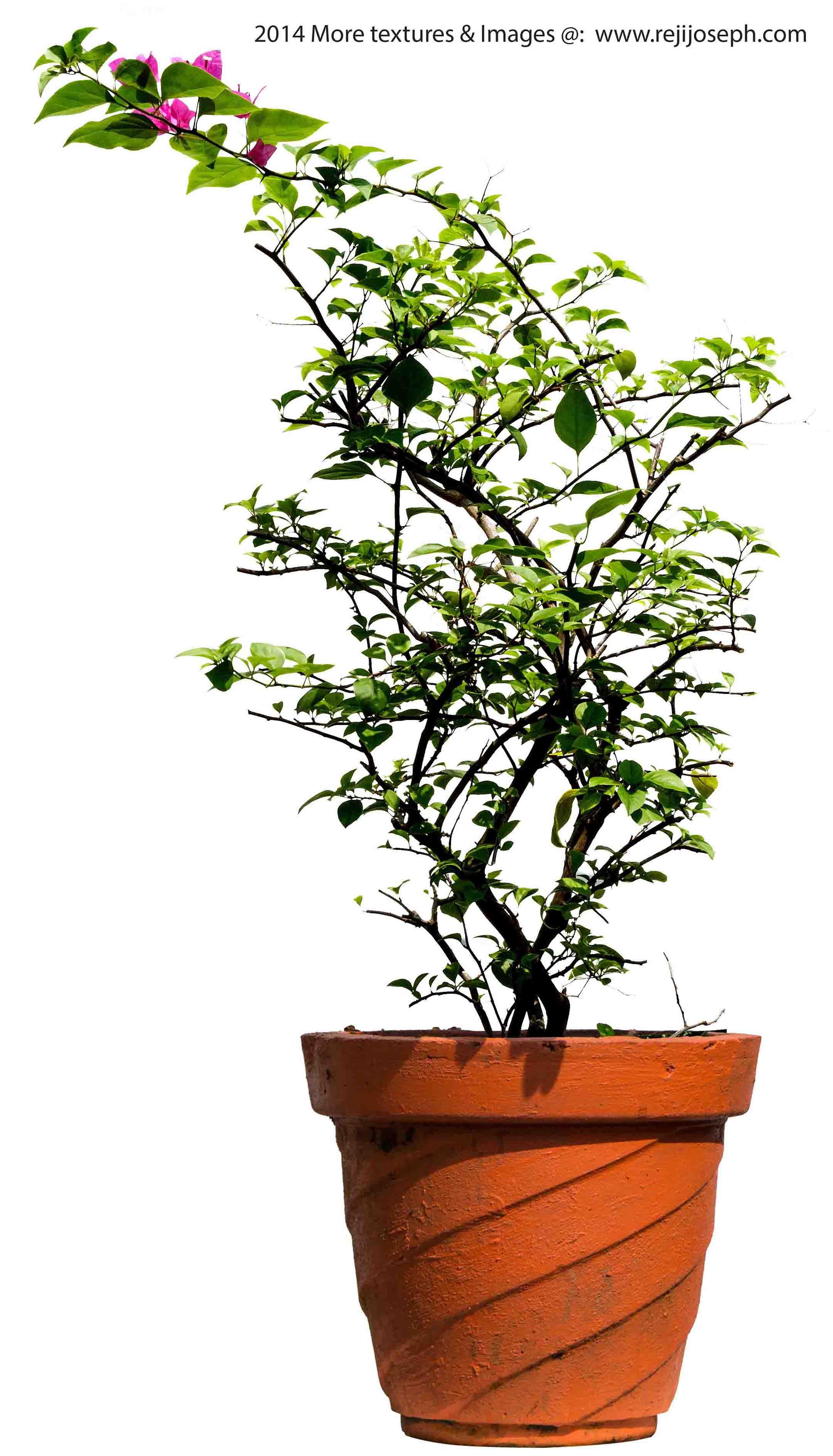 Bougainvillea Garden Plant Texture 00004