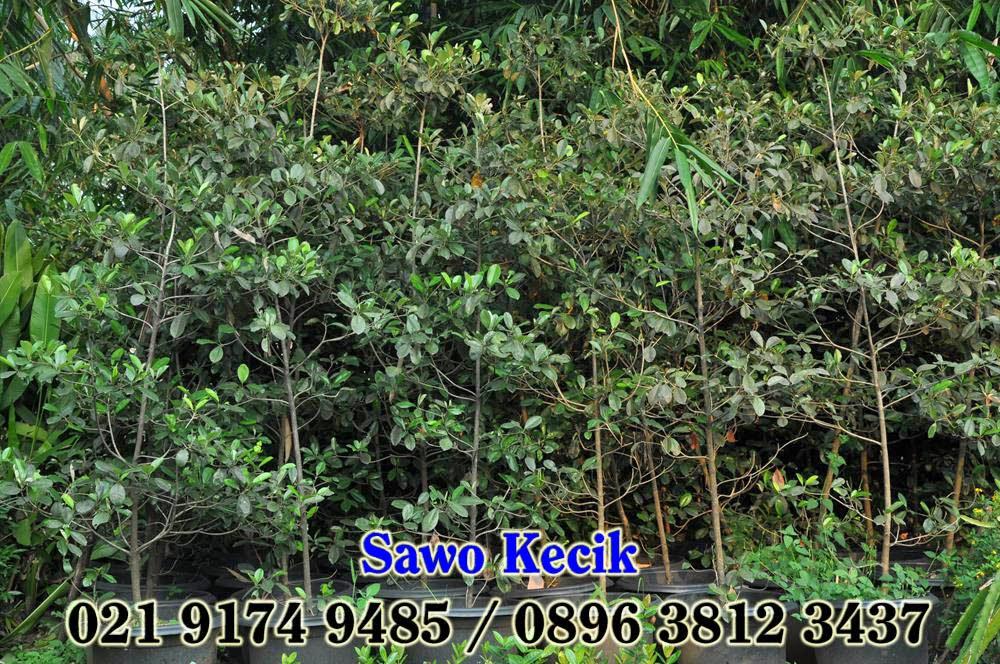 gambar Harga jual pohon sawo kecik dengan harga paling murah