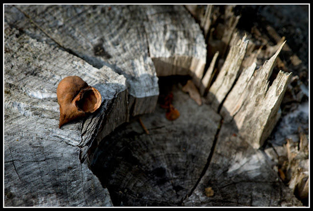 Nova Scotia; Nut; Stump