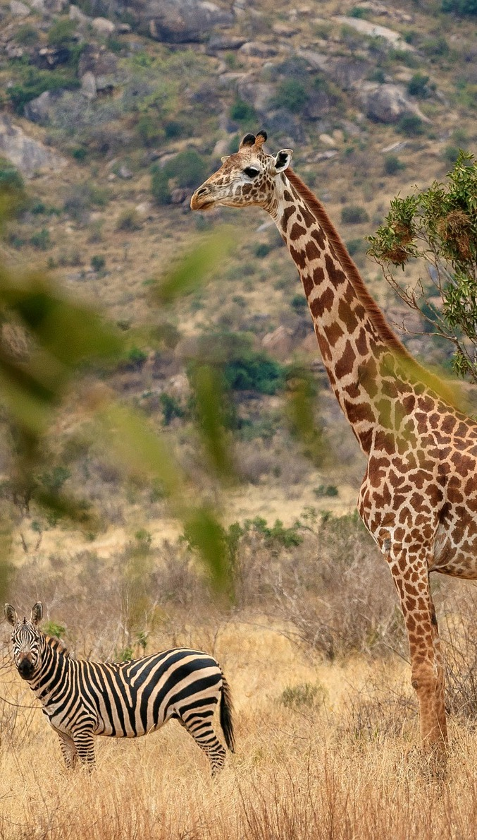 Enormous height difference between a zebra and giraffe.
