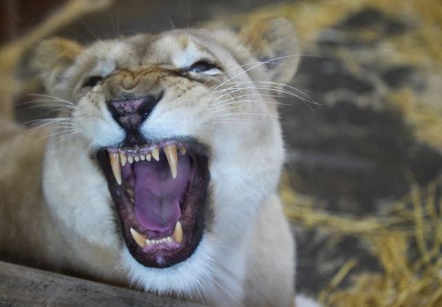 Dwindling prey bad news for big cats, wolves