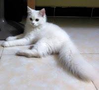 Anggora angora kucing