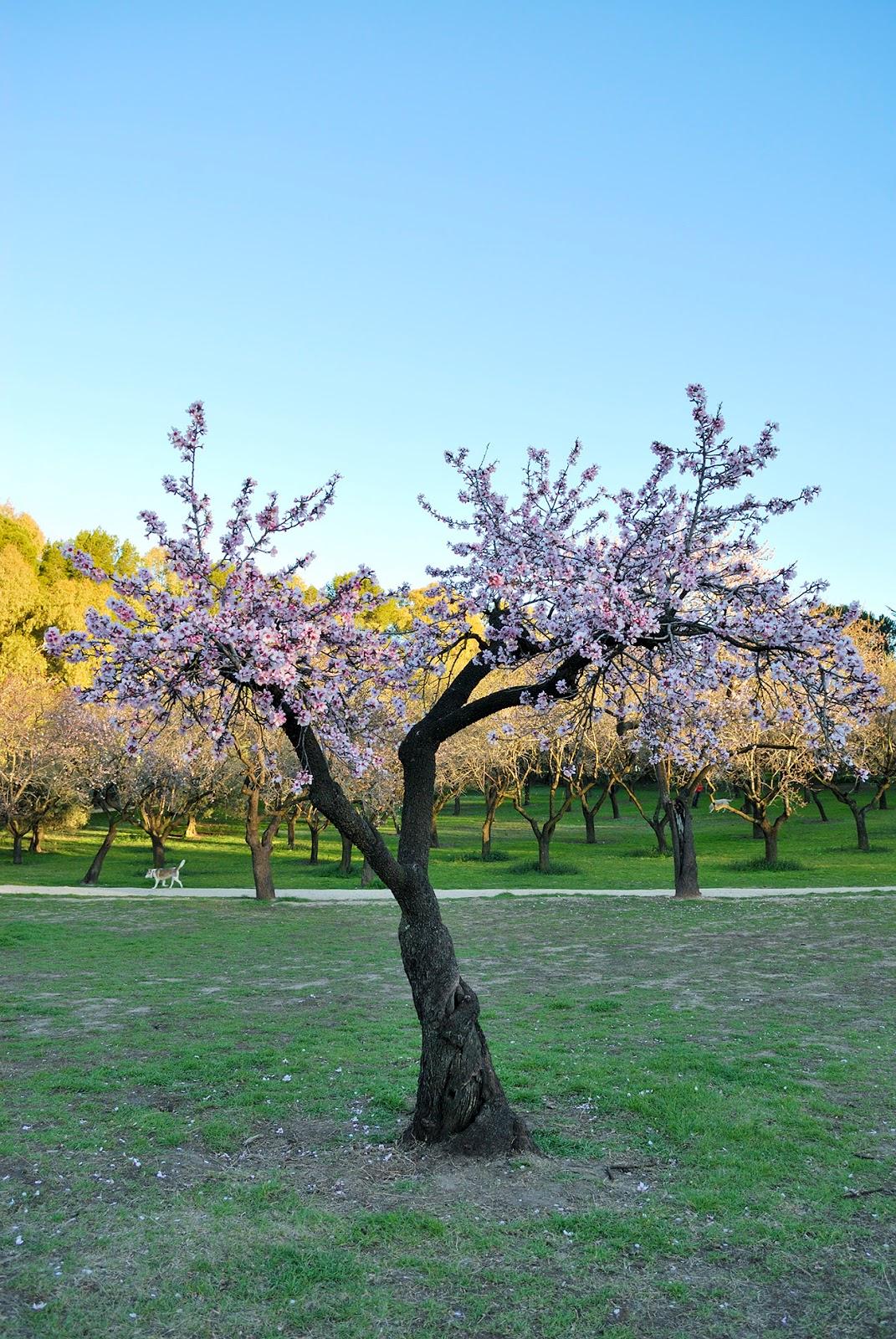 la quinta de los molinos flor floracion almendros madrid