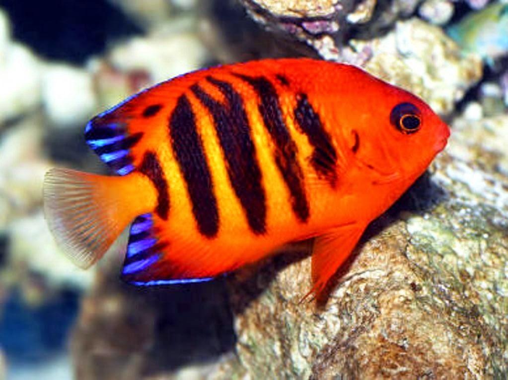ikan aquarium