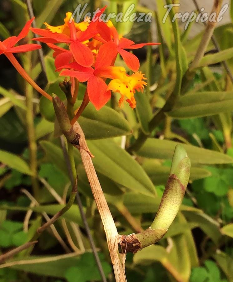 Ramificación en desarrollo en un tallo floral de la orquídea Estrella de Fuego o Arcoíris, Epidendrum radicans