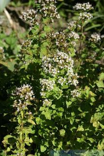 Origan commun - Origanum vulgare - Marjolaine sauvage