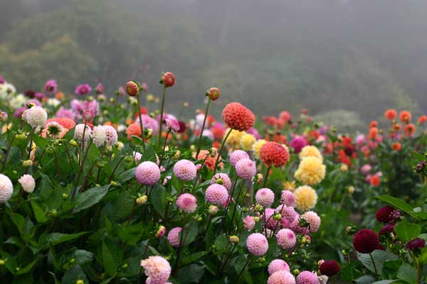 How To Grow Dahlias From Seed The
