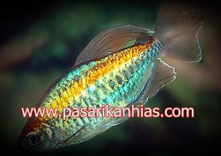 Ikan hias Niasa