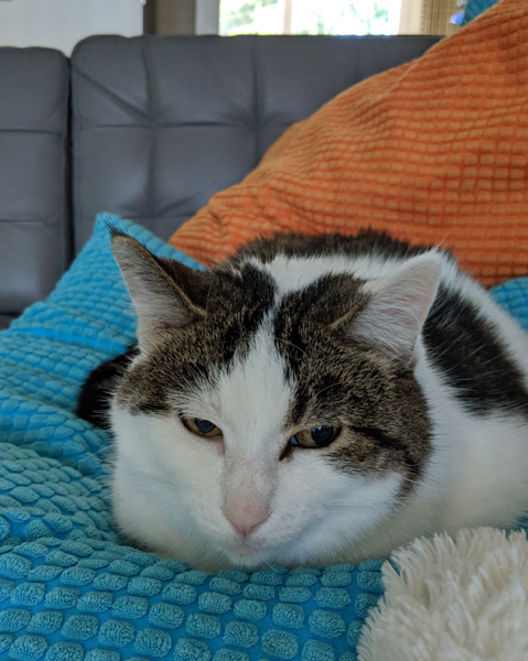 image of Olivia the White Farm Cat sitting on a pillow on the couch, looking like a surly loaf