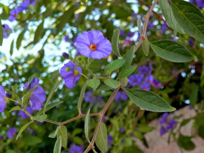 Solanum rantonnetii (Solano de flor azul, dulcamara perenne, Blue potato bush [EN])