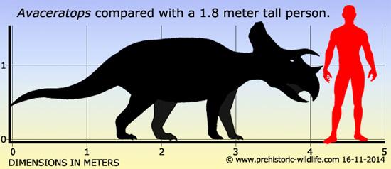Tamanho do Avaceratops comparado com um humano