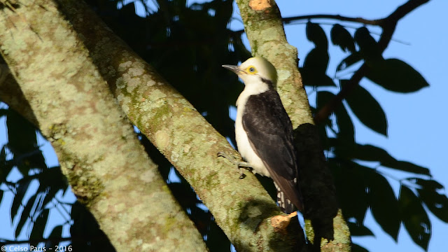 White Woodpecker Melanerpes candidus Pica-pau-branco Chanchã Carpintero Blanco