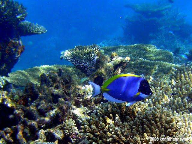 Powder-blue surgeonfish, maldives, tropical sea, scuba diving,