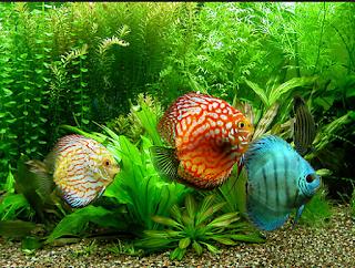 Ikan Discus Termahal