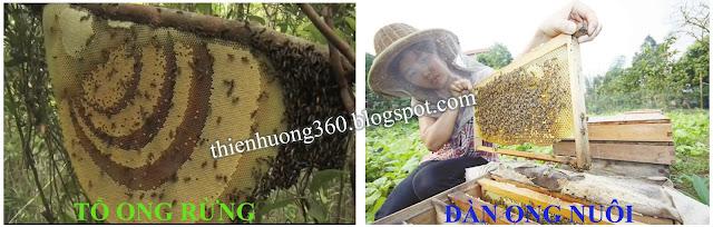 Sự khác biệt giữa mật ong rừng và mật ong nuôi