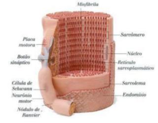 fisiologia-sistema-muscular-pdf