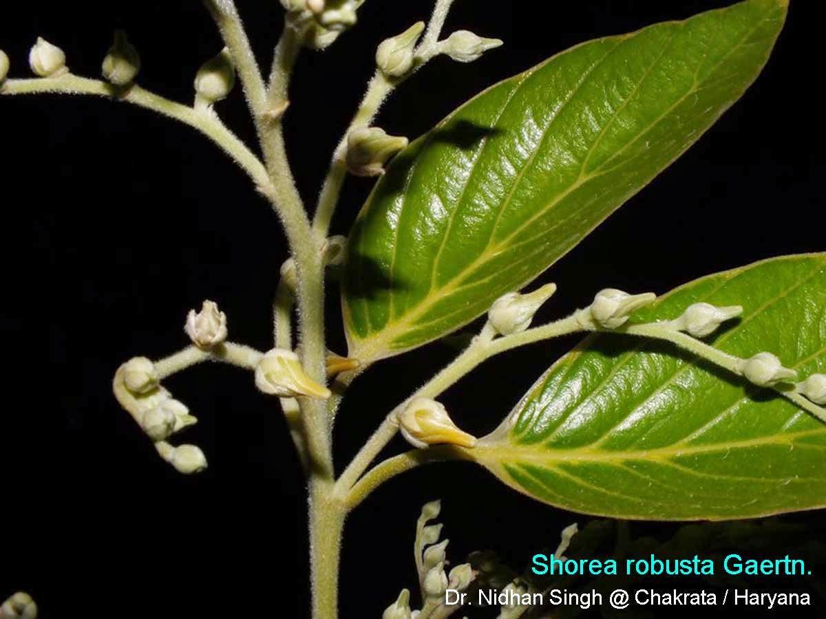 Medicinal Plants: Shorea robusta, kungiliyam, Guggilam
