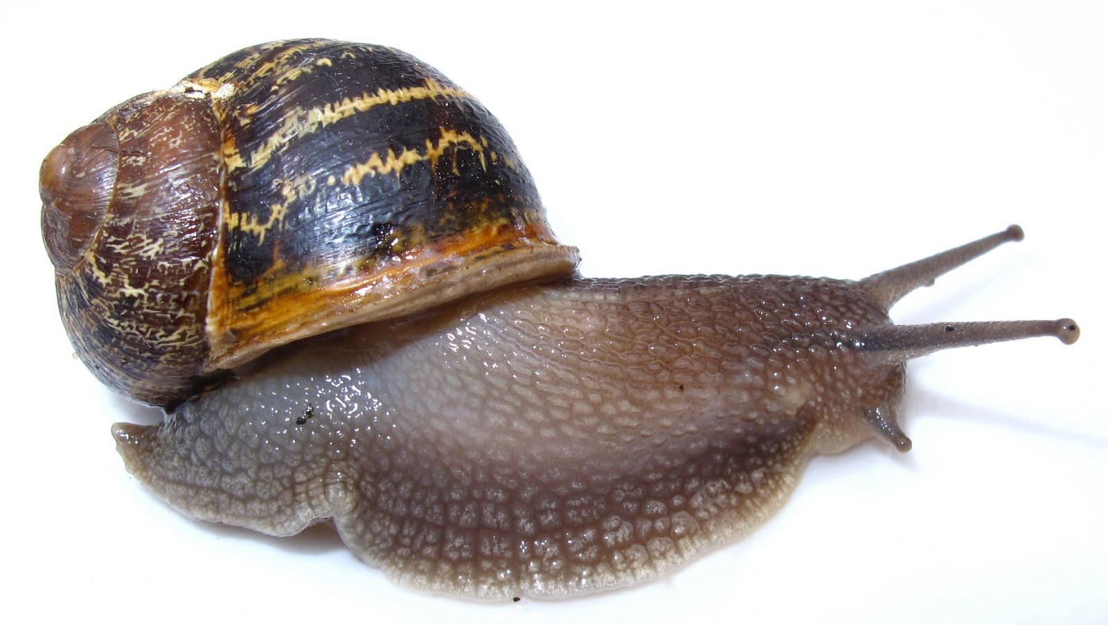 BugBlog: A handsome snail