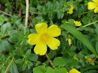Portulaca à fleur jaune - Pourpier à fleurs jaunes