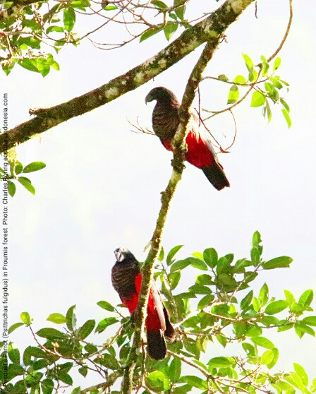 Birding in Tambrauw regency